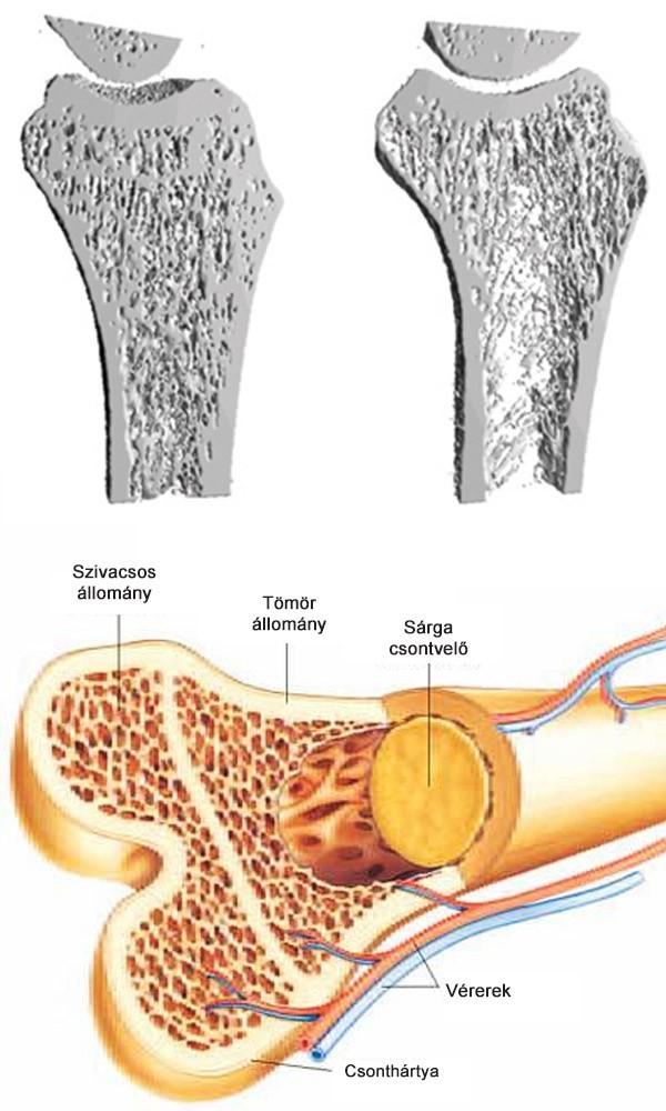 növeli a kalcium mennyiségét a testben